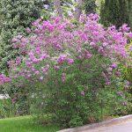 Лиственные кустарники в ландшафтном дизайне: виды, применение, преимущества