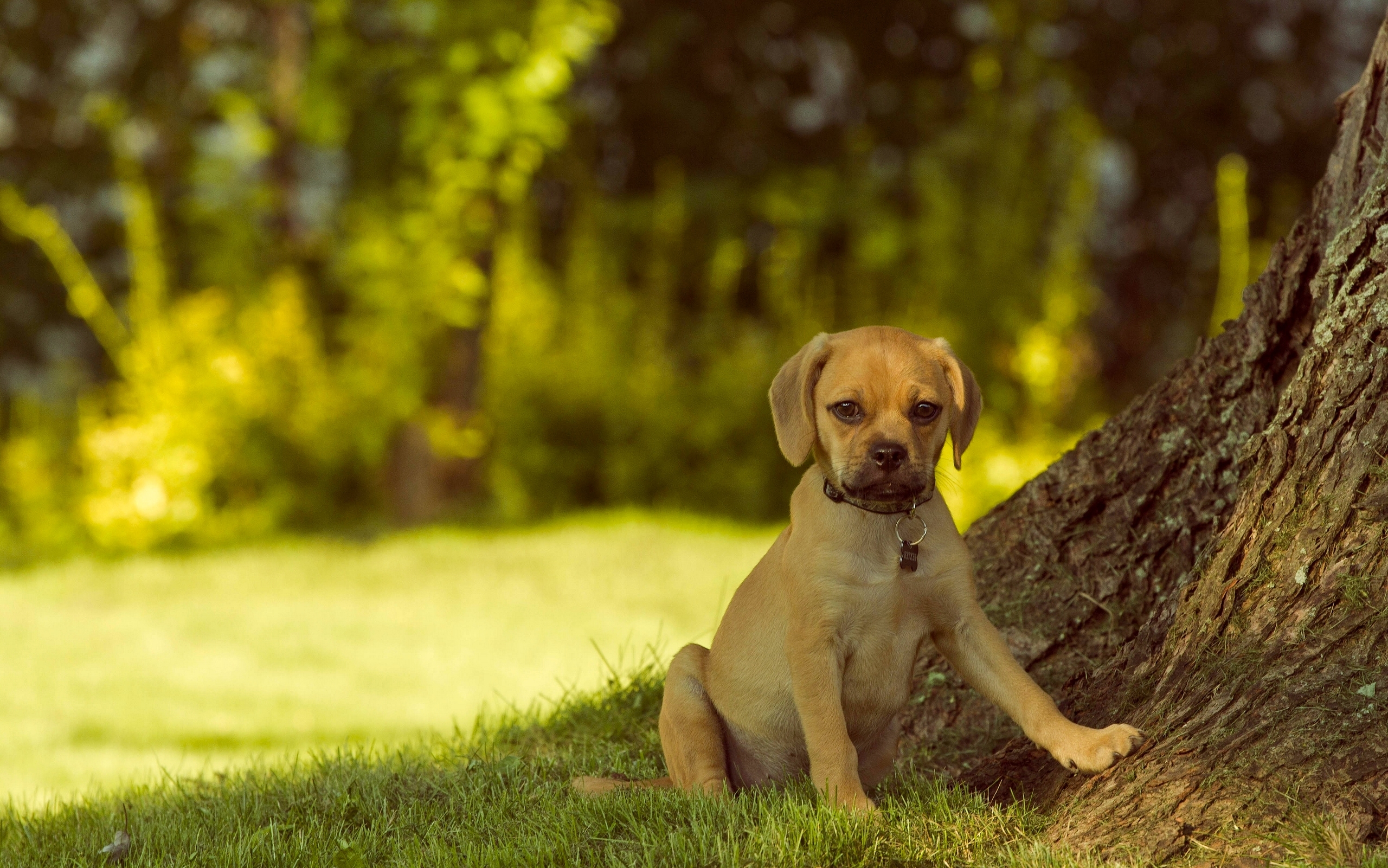 характер породы собаки пагль